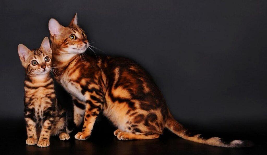 Бенгальская кошка с котенком
