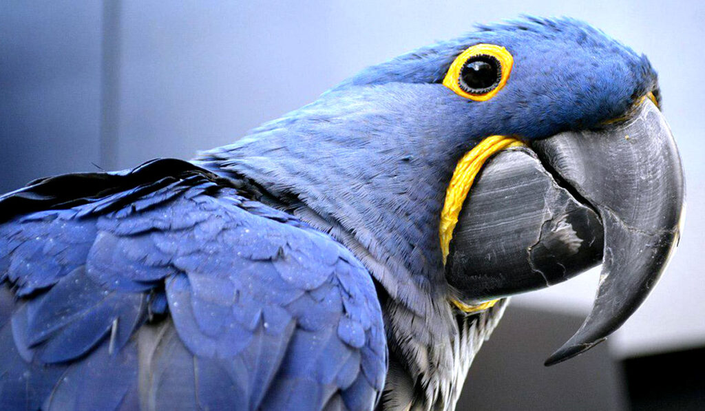 Экзотическая птица гиацинтовый ара