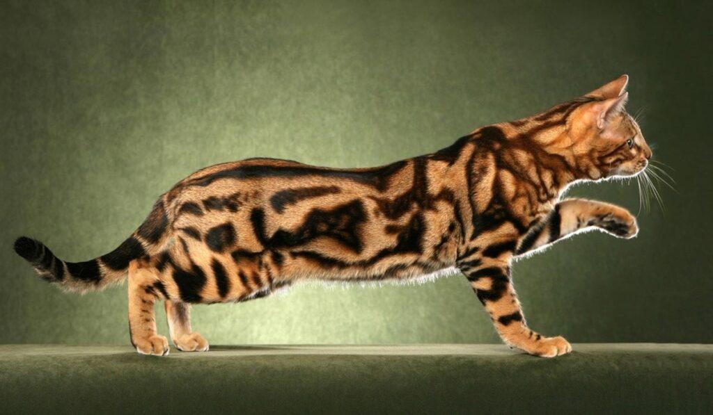 Мраморная бенгальская кошка
