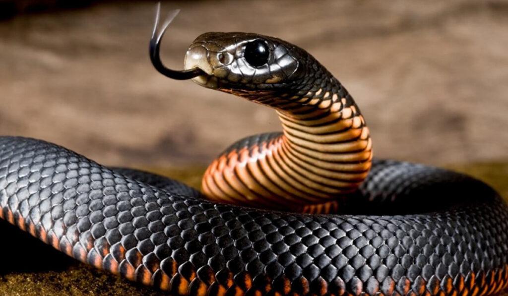 Опасная змея