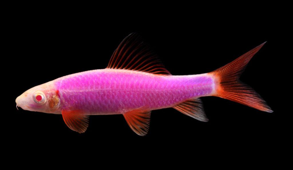 Пурпурный лабео глофиш