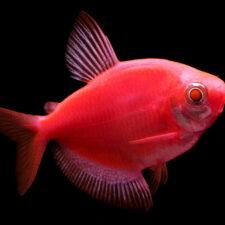 Рыбки GloFish