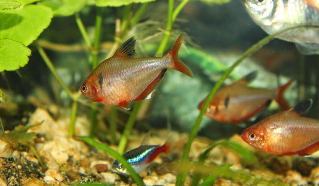 Тернеции в аквариуме