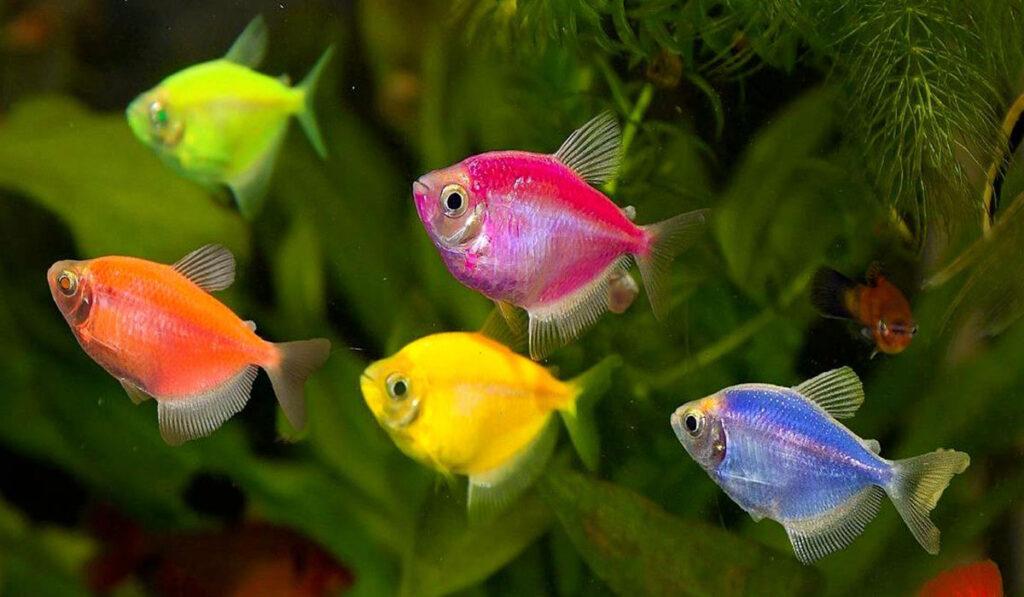 Яркие рыбки глофиш