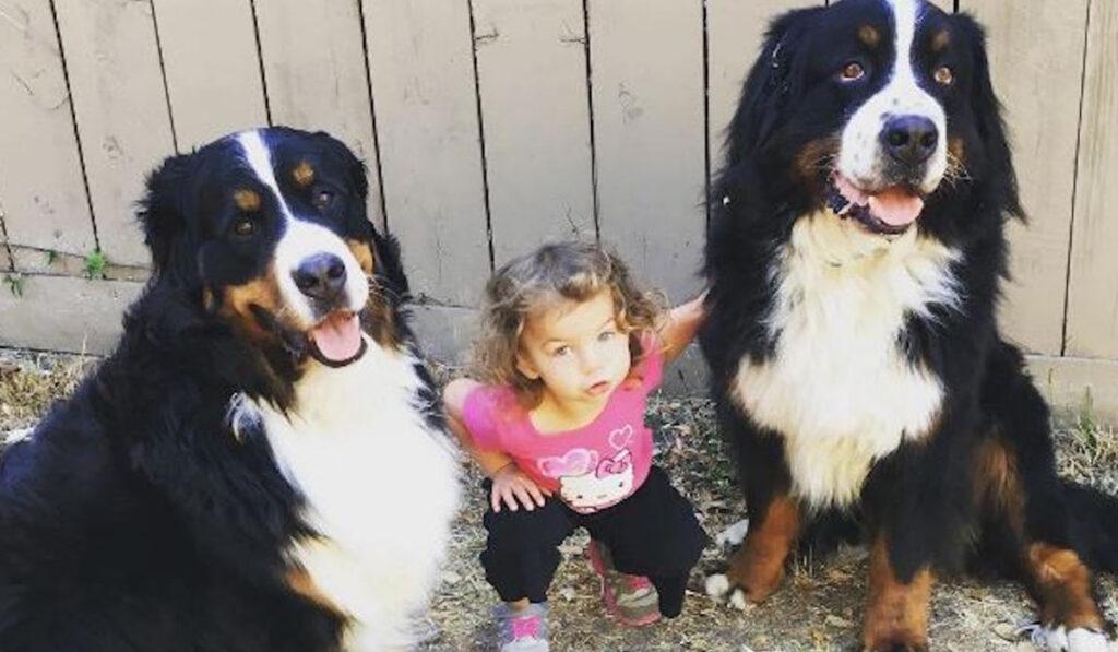 Бернский зенненхунд и ребенок