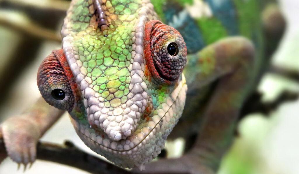 Экзотическая ящерица хамелеон