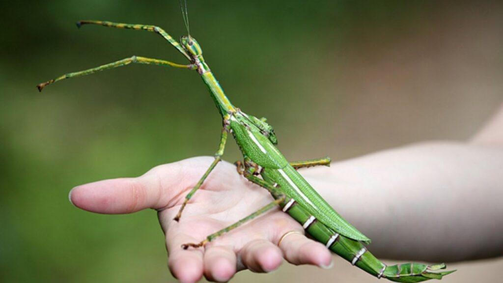 Экзотическое насекомое палочник