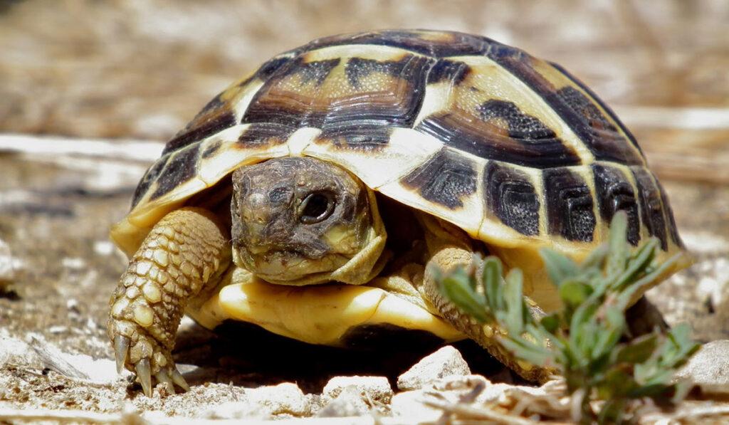 Экзотическое животное черепаха