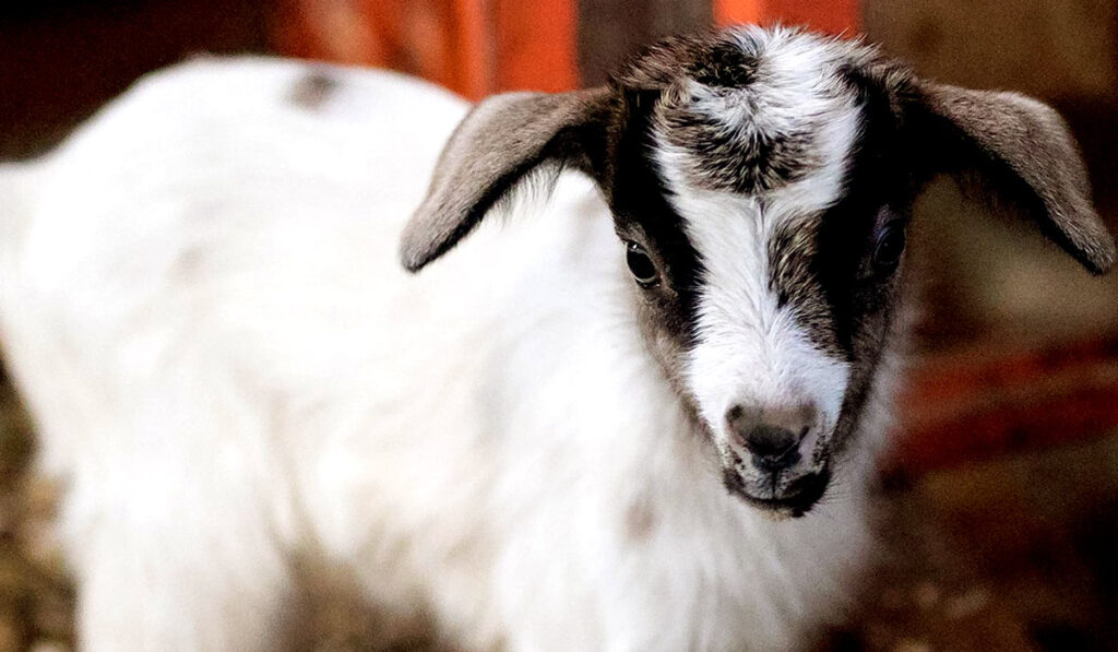 Экзотическое животное карликовая камерунская коза