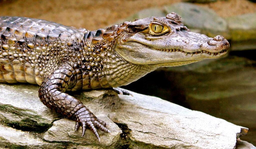 Экзотическое животное крокодиловый кайман