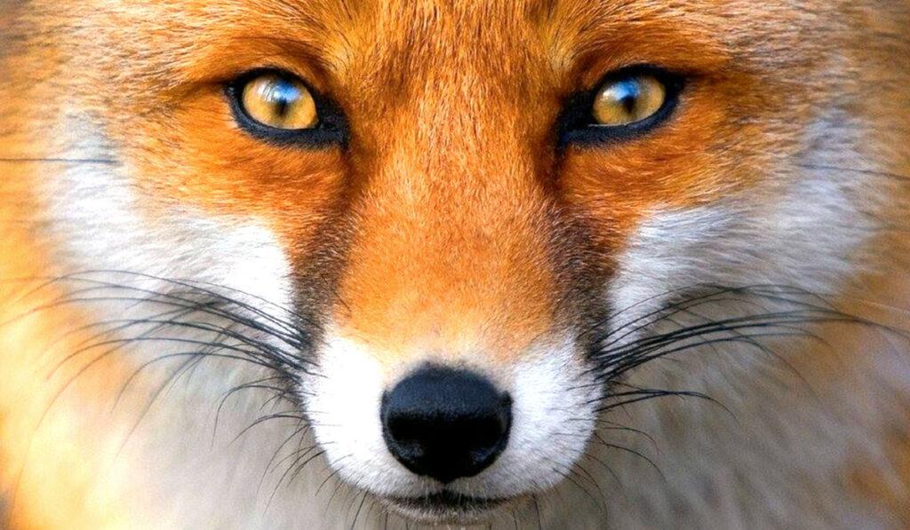 Экзотическое животное лисица