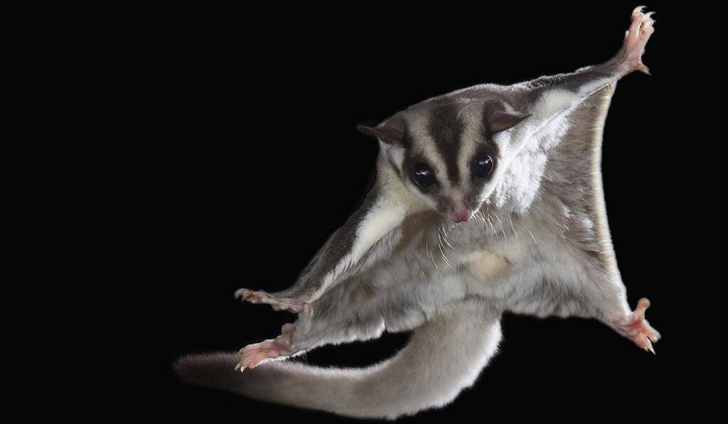 Экзотическое животное сахарная сумчатая летяга или сахарный опоссум