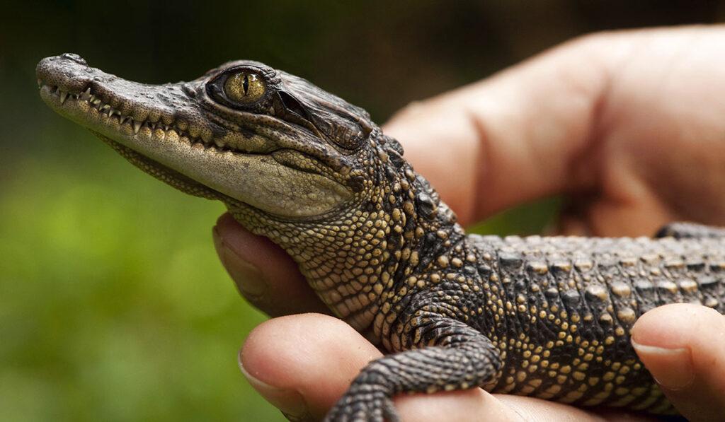 Маленький крокодиловый кайман