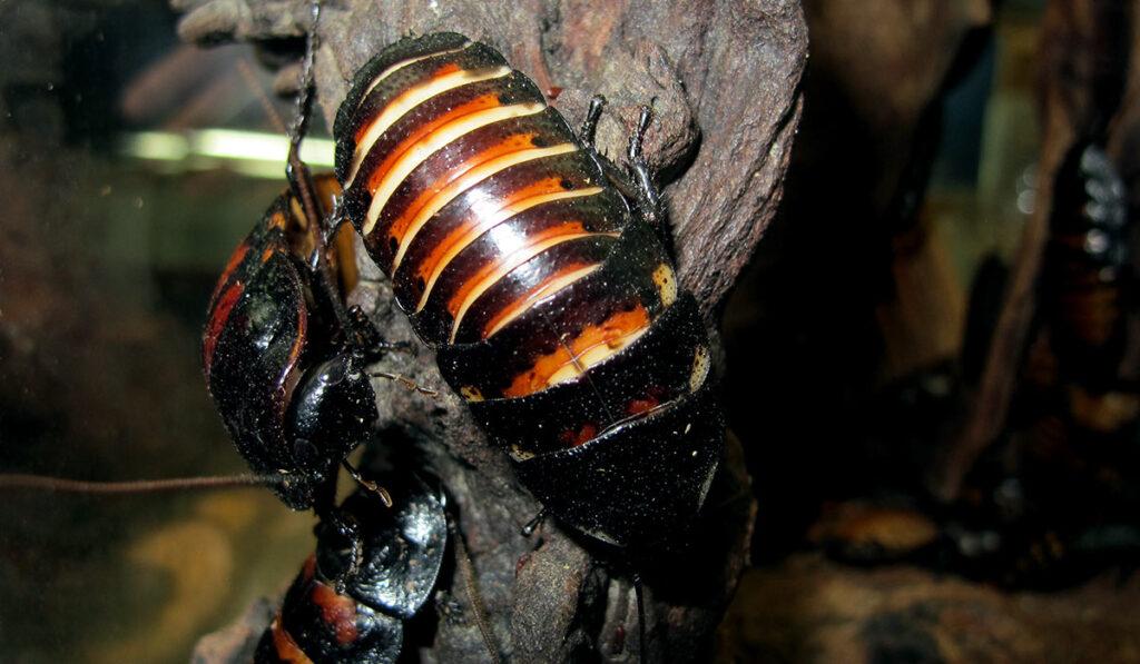 Мадагаскарские шипящие тараканы в инсектарии террариуме