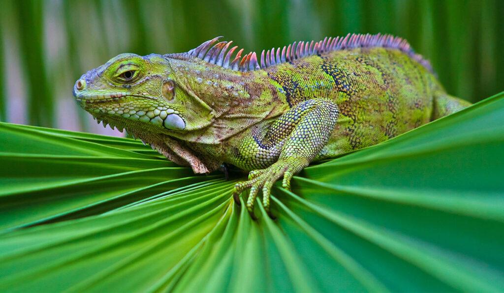 Рептилия игуана