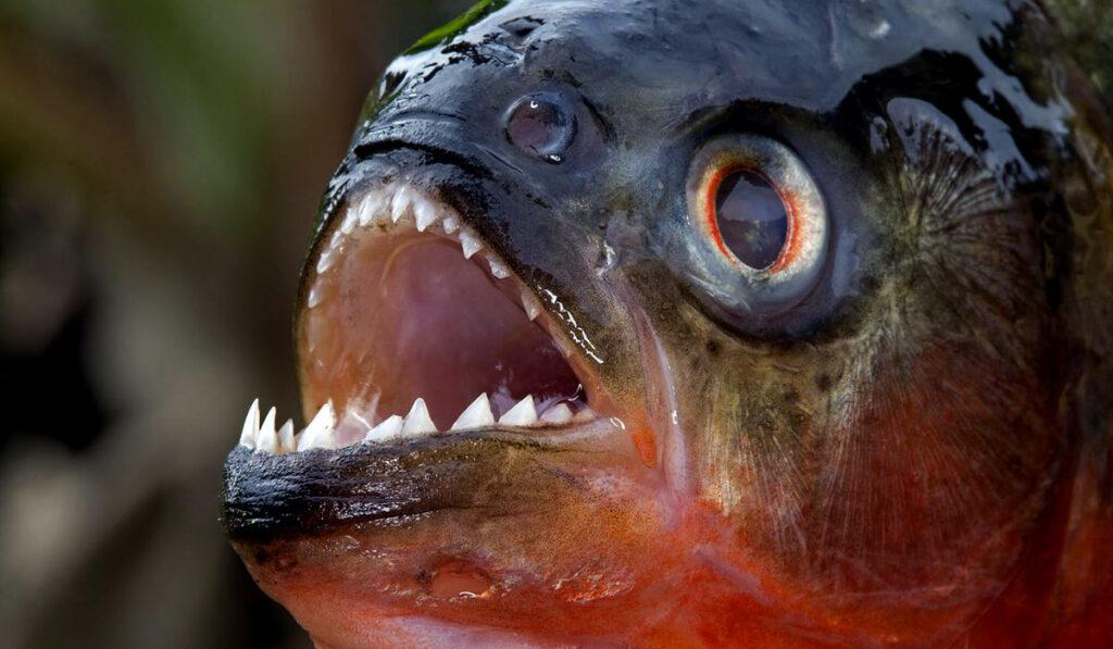 Рыба-пиранья