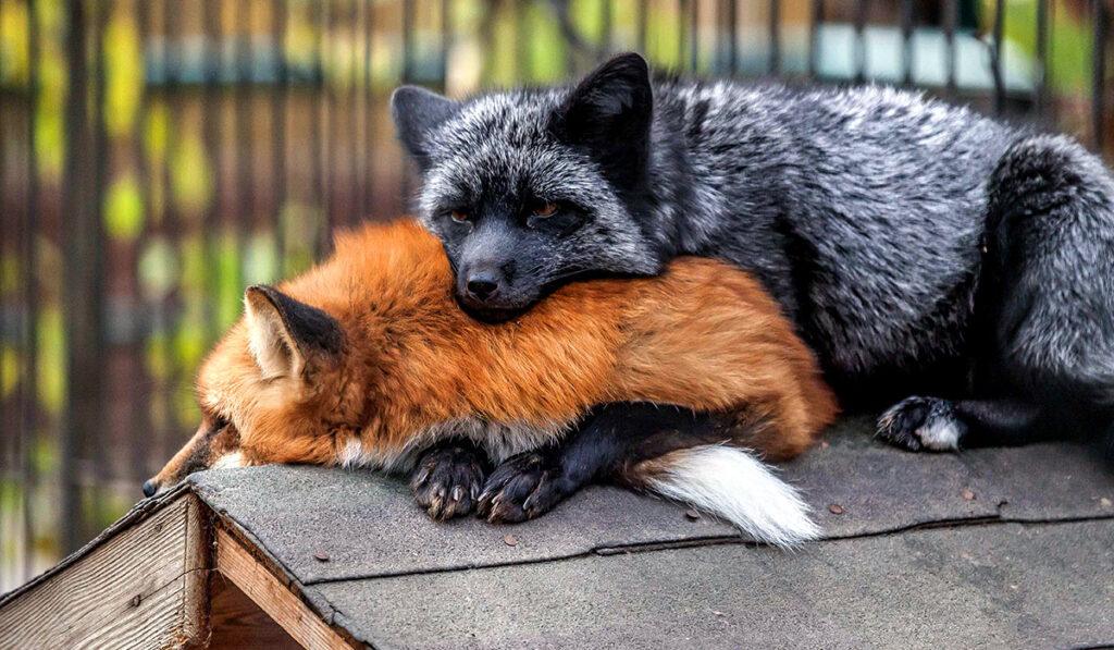 Рыжая и черно-бурая лисицы