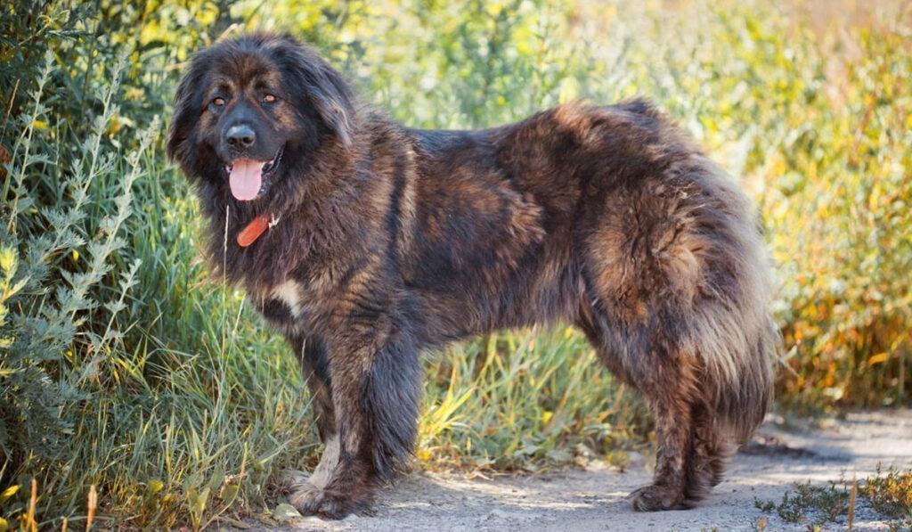 Собака кавказец