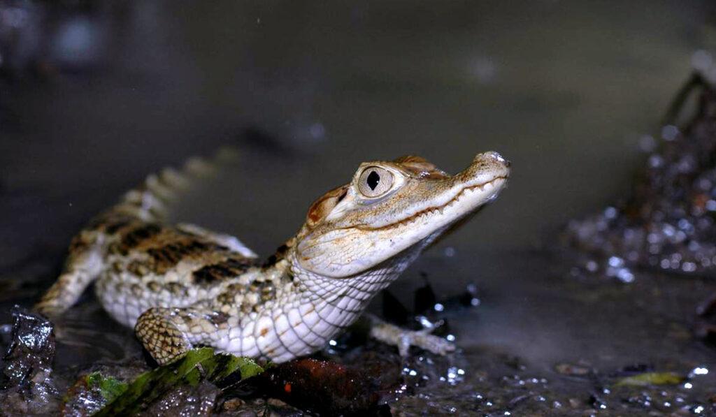 Животное крокодиловый кайман