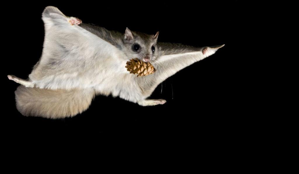 Животное сахарная сумчатая летяга