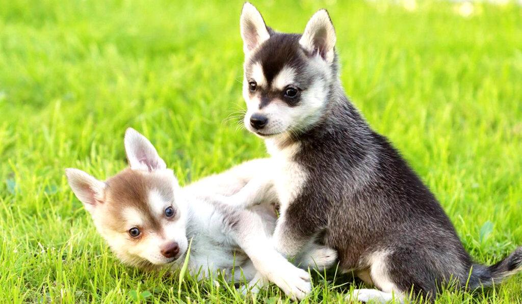 Аляскинский кли-кай щенок фото