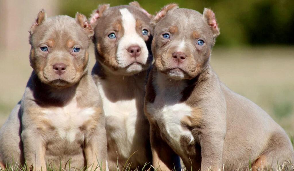 Американский булли щенки фото