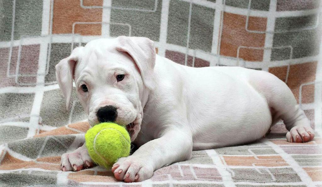Аргентинский дог щенок фото