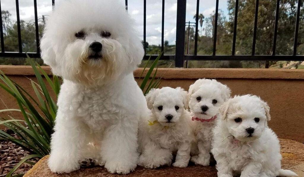 Бишон фризе щенки фото