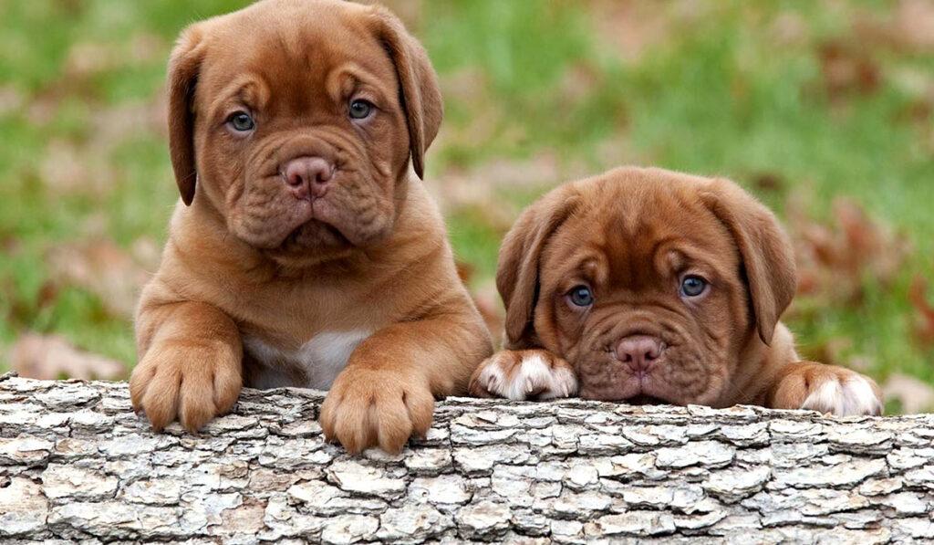 Бордоский дог щенок фото
