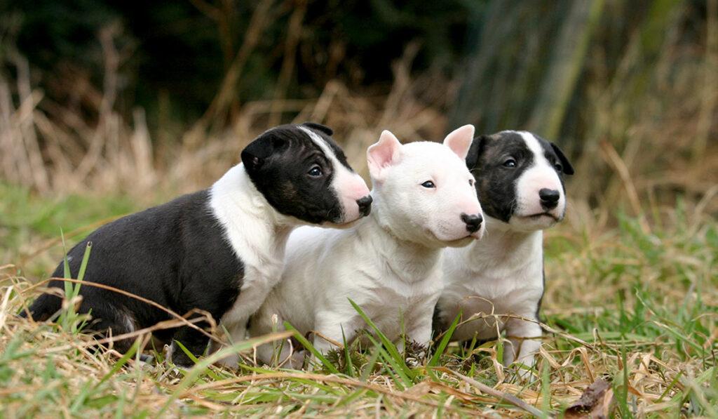 Бультерьер щенки фото
