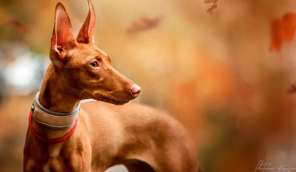 Фараонова собака портрет