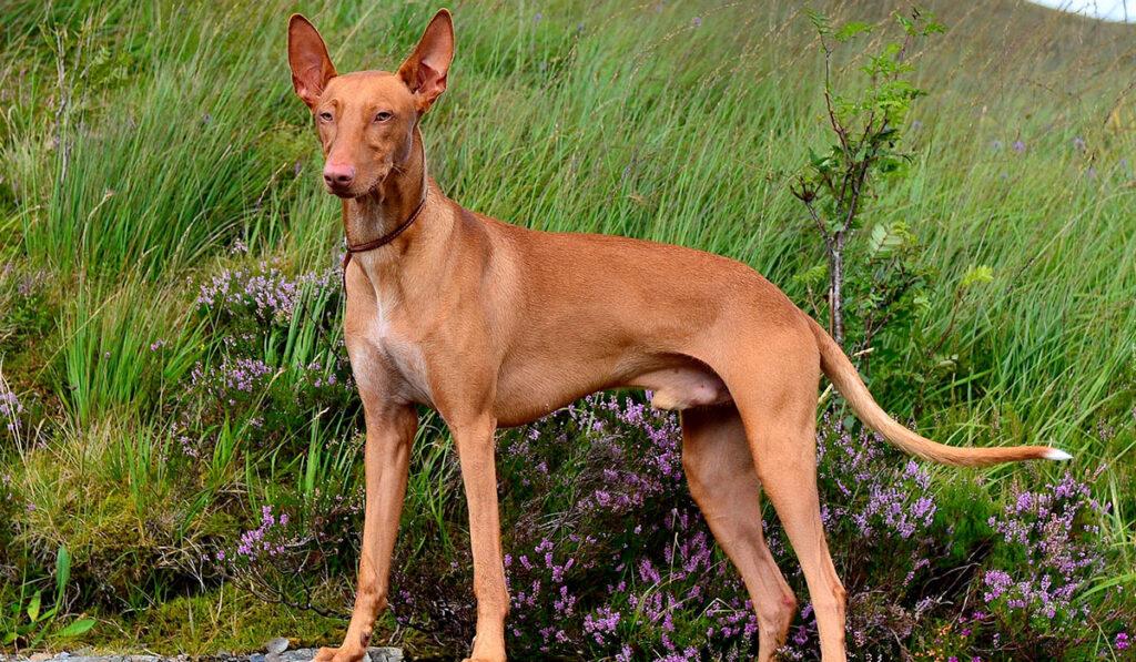Фото фараоновой собаки