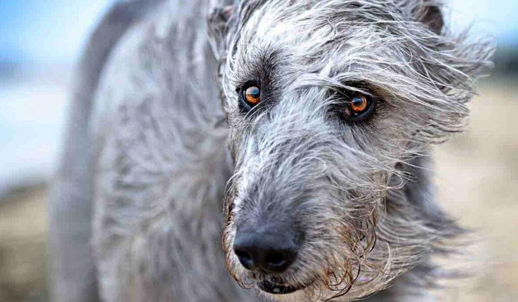 Ирландский волкодав портрет