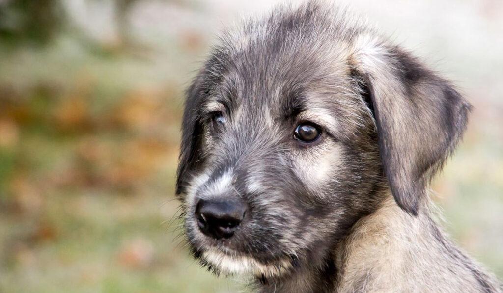 Ирландский волкодав щенок фото