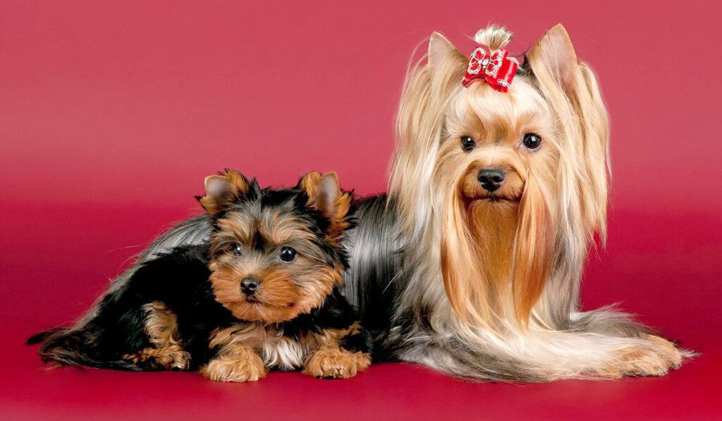 Йорк фото собаки