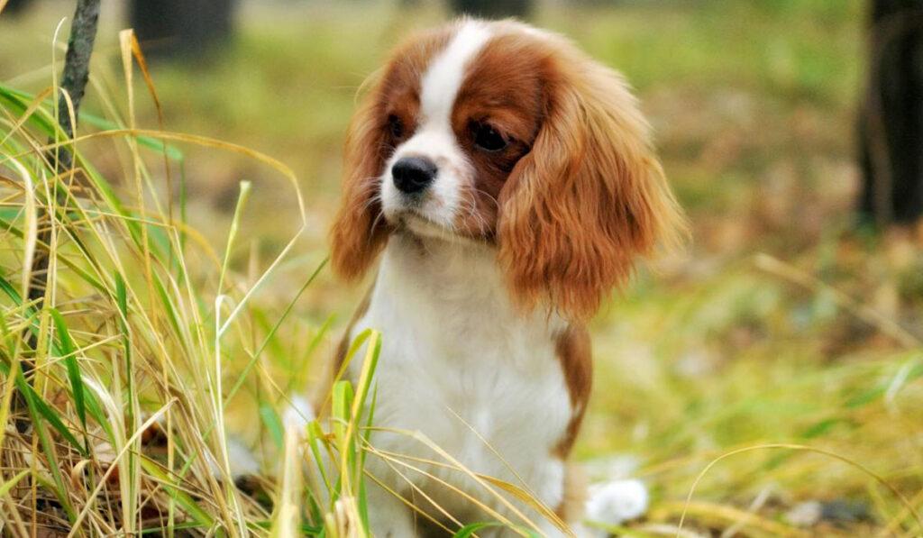 Кавалер-кинг-чарльз-спаниель щенок фото