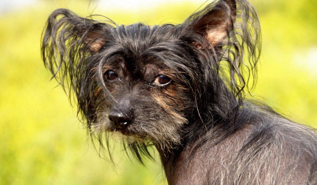 Китайская хохлатая собачка фото