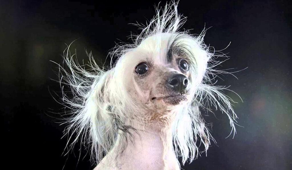 Китайская хохлатая собака портрет