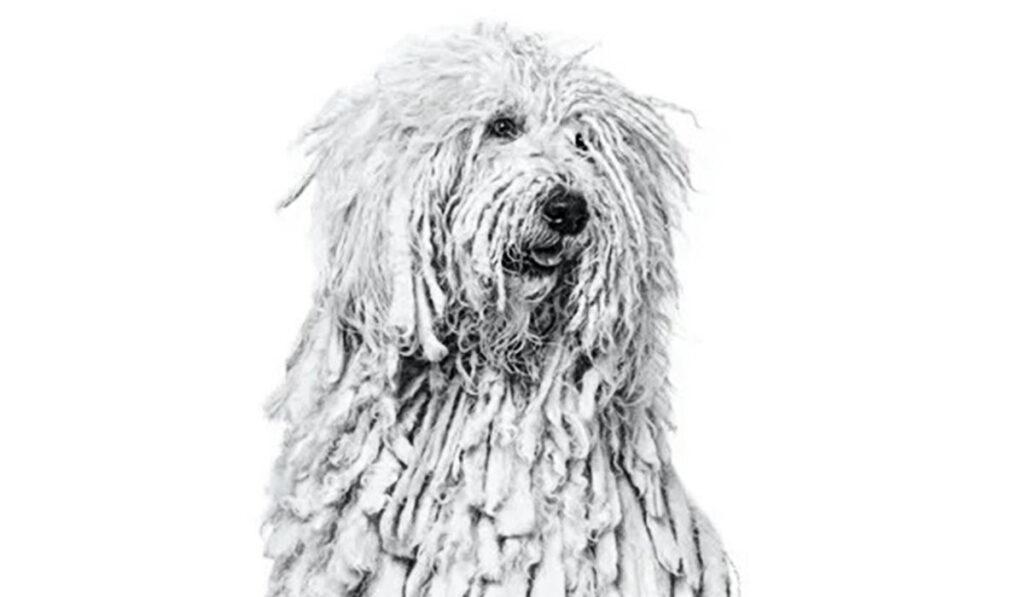 Комондор - пастушья собака
