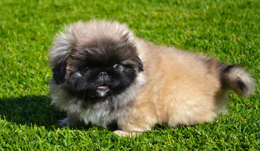 Пекинес щенок фото