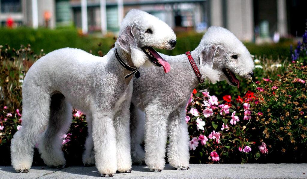 Собака бедлингтон-терьер фото