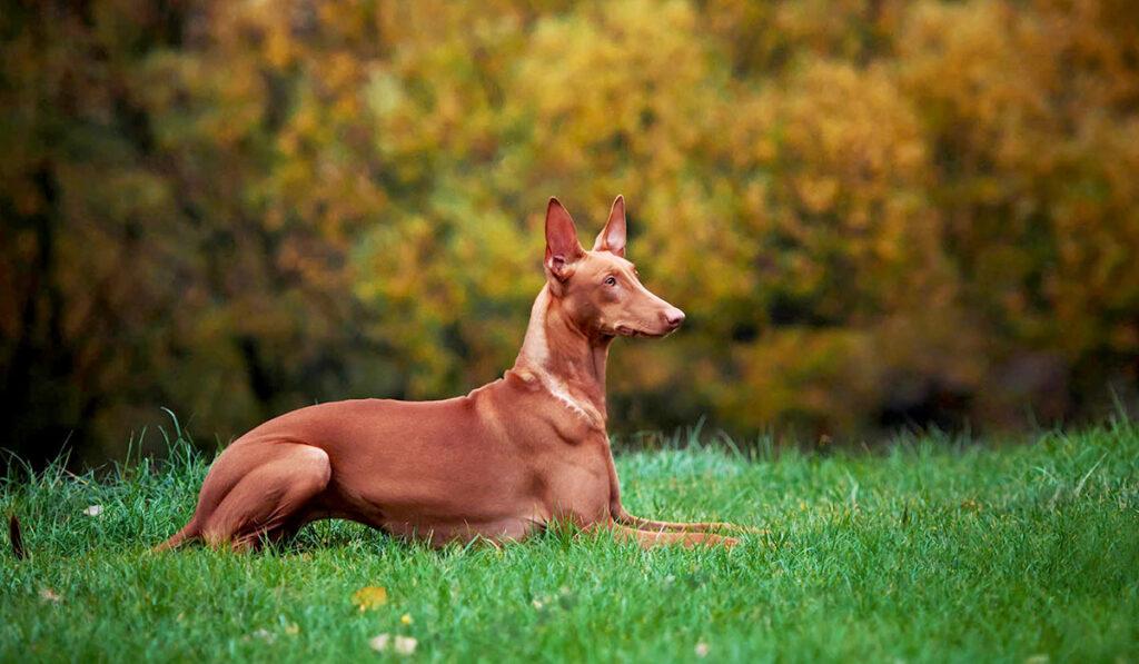 Порода фараонова собака фото