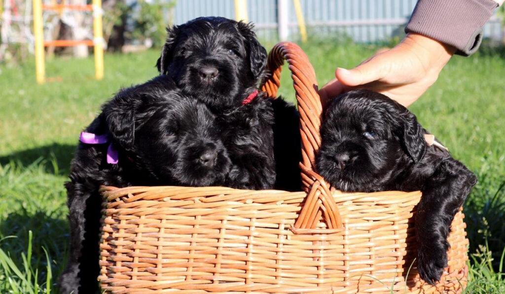 Русский черный терьер щенок фото
