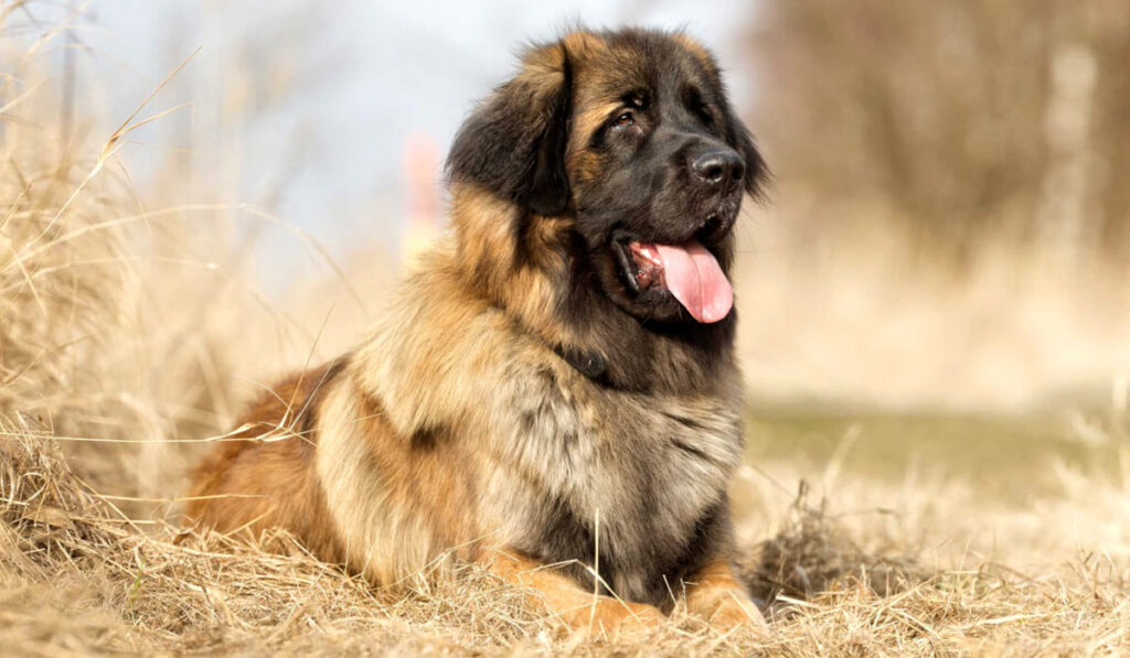 Собака леонбергер фото