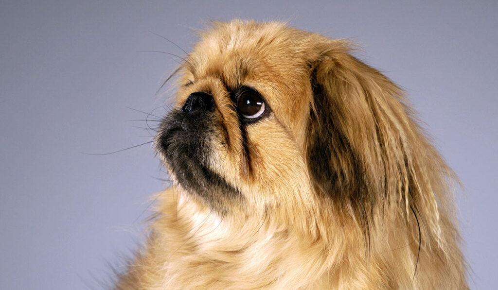 Собака пекинес фото