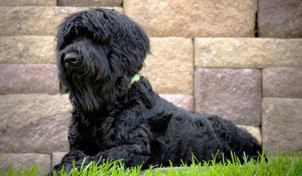 Собака русский черный терьер фото
