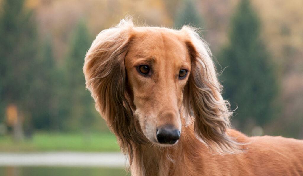 Собака салюки фото