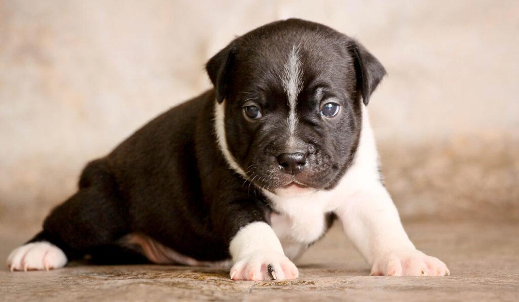 Стаффордширский бультерьер щенок фото