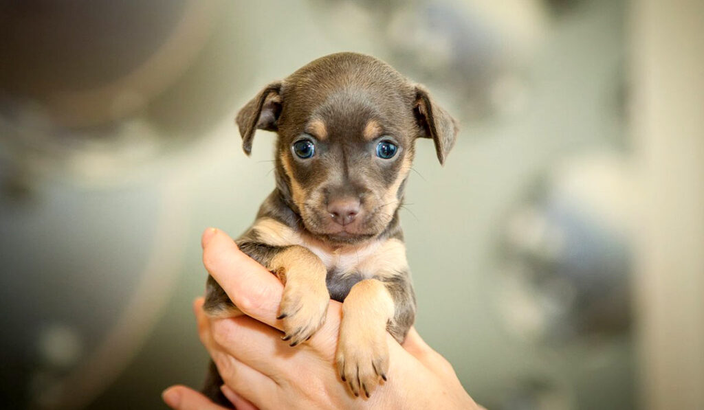 Той-терьер щенок фото