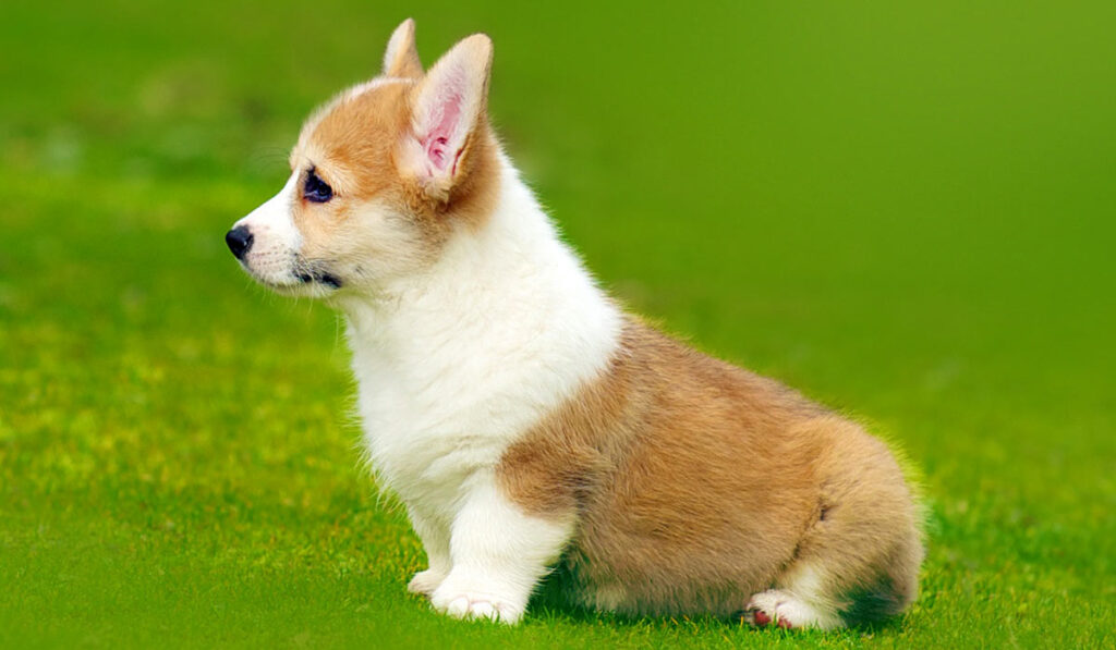 Вельш-корги пемброк щенок фото